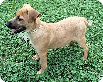 Jack Russell Terrier Mix Puppy for adoption in Bedford, Virginia - Hope