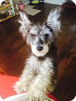 Schnauzer (Miniature) Mix Dog for adoption in South Gate, California - Mitchell