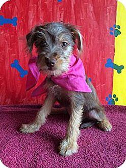 Schnauzer (Miniature)/Terrier (Unknown Type, Small) Mix Puppy for adoption in San Diego, California - REESIE