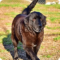 Adopt A Pet :: Raven - New Canaan, CT