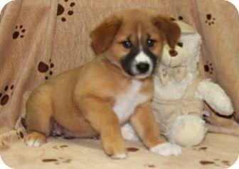Shepherd (Unknown Type)/St. Bernard Mix Puppy for adoption in Newark, New Jersey - Matye