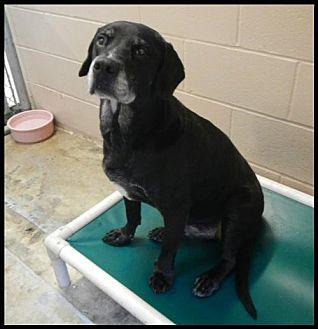 Labrador Retriever Dog for adoption in Hilton Head, South Carolina - Clyde