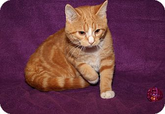 Domestic Shorthair Cat for adoption in Marietta, Ohio - Reggie (Neutered)