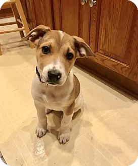 Collie Mix Puppy for adoption in DeForest, Wisconsin - Alison