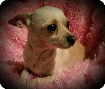 Chihuahua Mix Dog for adoption in Hamilton, Ontario - Happy