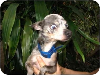 Chihuahua Mix Dog for adoption in San Diego, California - Goliath