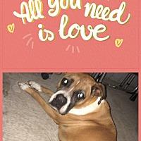 Boxer Dog for adoption in Lugoff, South Carolina - Queenie