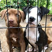 Adopt A Pet :: Rowan (RBF) - Hagerstown, MD