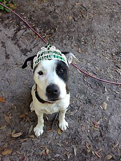American Pit Bull Terrier/Hound (Unknown Type) Mix Dog for adoption in Groveland, Florida - Alisha
