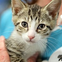 Adopt A Pet :: Gail - Fairfax Station, VA