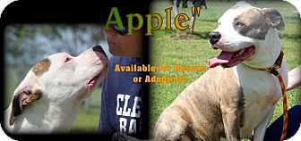 Pit Bull Terrier Mix Dog for adoption in Humble, Texas - Apple