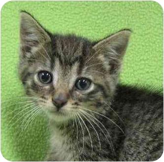 Domestic Shorthair Kitten for adoption in Fairmont, Minnesota - Clyde