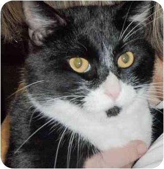 Domestic Shorthair Cat for adoption in Pasadena, California - Ray