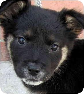 German Shepherd Dog/Shepherd (Unknown Type) Mix Puppy for adoption in Los Angeles, California - Bundle