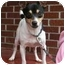 Photo 1 - Rat Terrier Dog for adoption in kennebunkport, Maine - Terry - Pending!