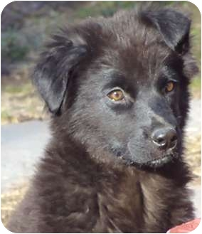 Flat-Coated Retriever Mix Puppy for adoption in Manchester, Connecticut - Dawson