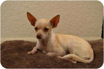Chihuahua/Italian Greyhound Mix Dog for adoption in Brooksville, Florida - HOLLY-Adopted!!