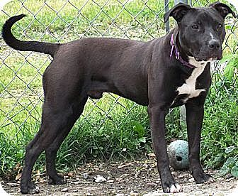 American Pit Bull Terrier Mix Dog for adoption in Sterling Heights, Michigan - Charlie