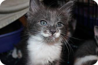 Maine Coon Kitten for adoption in Santa Monica, California - Asher