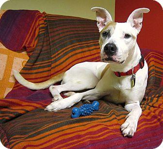 American Pit Bull Terrier Mix Dog for adoption in Philadelphia, Pennsylvania - Hurley