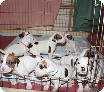 Treeing Walker Coonhound/American Bulldog Mix Puppy for adoption in Largo, Florida - Joni's Soda Pups ALL - BABIES