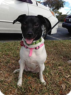 Terrier (Unknown Type, Small) Mix Dog for adoption in Coral Springs, Florida - Molly