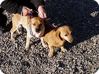 Dachshund/Jack Russell Terrier Mix Dog for adoption in Cedaredge, Colorado - Juanita and Hombre