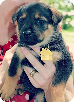 Shepherd (Unknown Type) Mix Puppy for adoption in Austin, Texas - Duck