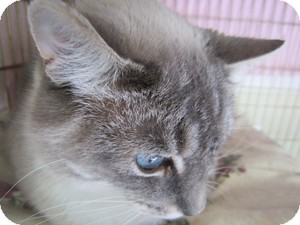Siamese Cat for adoption in Seattle c/o Kingston 98346/ Washington State, Washington - Sunny