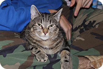 Domestic Shorthair Cat for adoption in Marietta, Georgia - Fabio