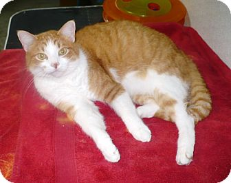 Domestic Shorthair Cat for adoption in Eastpoint, Florida - mason