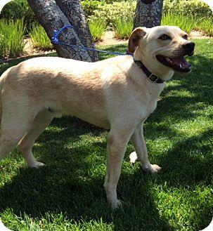 Labrador Retriever Mix Dog for adoption in Corona, California - SIMON
