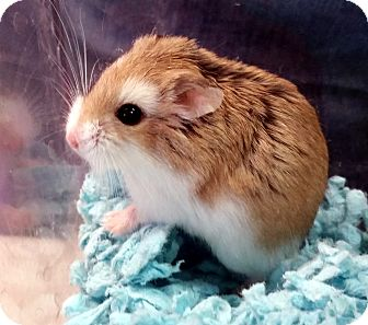 Hamster for adoption in Lewisville, Texas - Smidgen