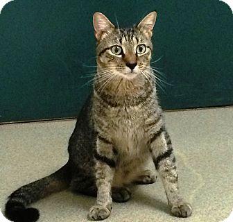 Domestic Shorthair Cat for adoption in Fairfax, Virginia - Tigger