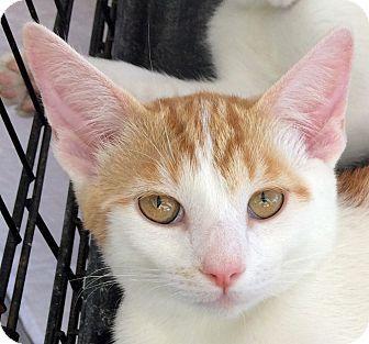 Domestic Shorthair Kitten for adoption in Winchester, California - Kisses