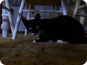 Domestic Shorthair Cat for adoption in Salem, Oregon - Ophelia