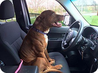 Pit Bull Terrier/Labrador Retriever Mix Dog for adoption in Laingsburg, Michigan - Davey