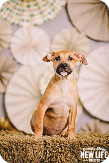 Pit Bull Terrier/German Shepherd Dog Mix Puppy for adoption in Portland, Oregon - Miles