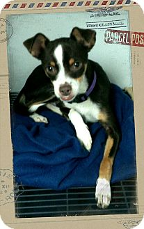 Chihuahua Mix Dog for adoption in Apache Junction, Arizona - Rebel