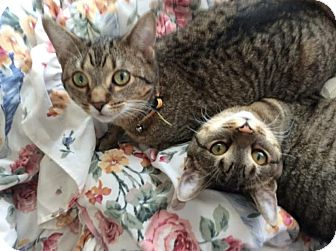 Domestic Shorthair Kitten for adoption in Rochester Hills, Michigan - Katie