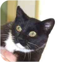 Domestic Shorthair Cat for adoption in Coleraine, Minnesota - Tippy