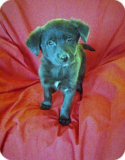 German Shepherd Dog/Labrador Retriever Mix Puppy for adoption in Hillsboro, Illinois - Luke