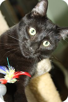 Domestic Shorthair Cat for adoption in Yuba City, California - Aker