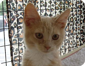 Domestic Shorthair Cat for adoption in Lovingston, Virginia - Butterscotch