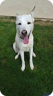 German Shepherd Dog/Husky Mix Dog for adoption in Gilbert, Arizona - Dodger