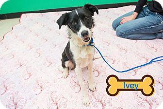 Terrier (Unknown Type, Medium) Dog for adoption in Franklin, North Carolina - IVEY