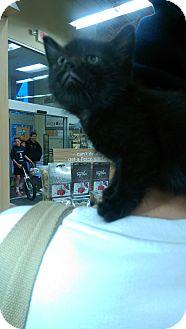 Domestic Shorthair Kitten for adoption in Ogden, Utah - Egypt