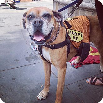 Boxer Mix Dog for adoption in New York, New York - Gracie