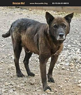 Chow Chow/Labrador Retriever Mix Dog for adoption in Hankamer, Texas - Merlin