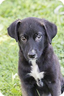 Retriever (Unknown Type)/Shepherd (Unknown Type) Mix Puppy for adoption in Baltimore, Maryland - Tessie